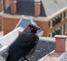jackdaw by oldgentleman