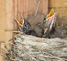 Baby Robins 1 by Forrest  Ray