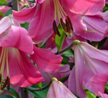 Pink stargazer lilies Sticker