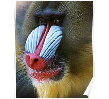 Male Manderill baboon Poster