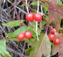 Hi-Bush Cranberries Sticker