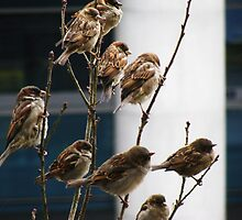 Sparrows in Istanbul by rasim1