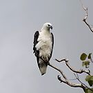 White bellied sea eagle by Jenny Dean