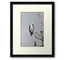 White bellied sea eagle Framed Print