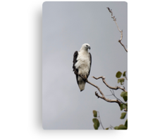 White bellied sea eagle Canvas Print