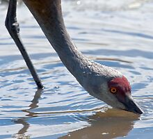 Mature Sandhill Crane Enjoying a Refreshing Drink by David Friederich