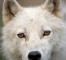 Steely eyed Stare by Daniel  Parent