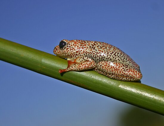 Painted reed frog by jozi1