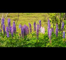Lupins by Dan Snyder