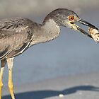 Immature night heron with catch! by jozi1