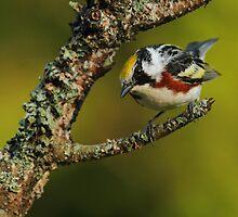 Chestnut-sided Warbler by Bill McMullen