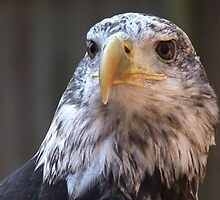 Adler II by Lolabud