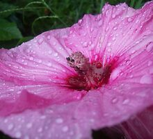 Pink Rain- Hibiscus by Alondra Hanley