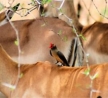RED-BILLED OXPECKER AND THE IMPALA -A combination of Textures by Magriet Meintjes