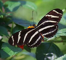 Zebra Longwing Butterfly by John Absher