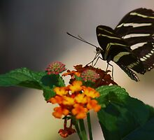 Zebra Longwing Butterfly Profile by John Absher