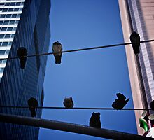 city pigeons  by stephotography
