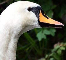 The Staring Swan by DEB VINCENT