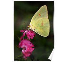 Orange Banded Sulphur Butterfly Poster