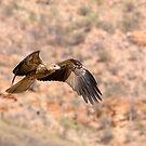 Black Kite. by trevorb