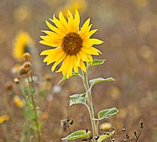 Sunflowers (Helianthus annuus) by Elaine123