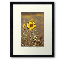 Sunflowers (Helianthus annuus) Framed Print