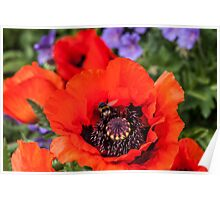 Bee on a poppy Poster