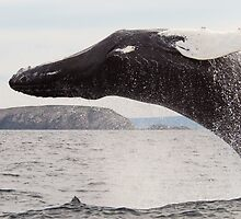 Humpback Whale by DebYoung