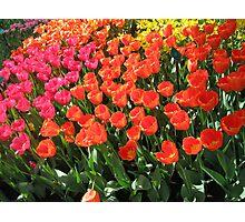 tulips of amsterdam Photographic Print