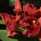 Queen Orchid - Thailand by Gilberte