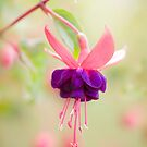 Fuchsia by Mandy Disher