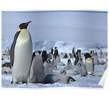 Emperor Penguin and Chicks - Snow Hill Island  Poster