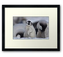 Half Asleep Emperor Penguin Chick - Snow Hill Island  Framed Print