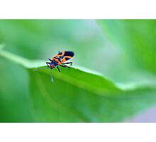 Assassin Beetle Photographic Print