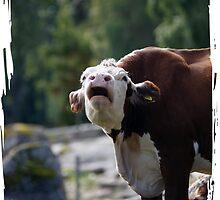 grumpy cow talk by marmur