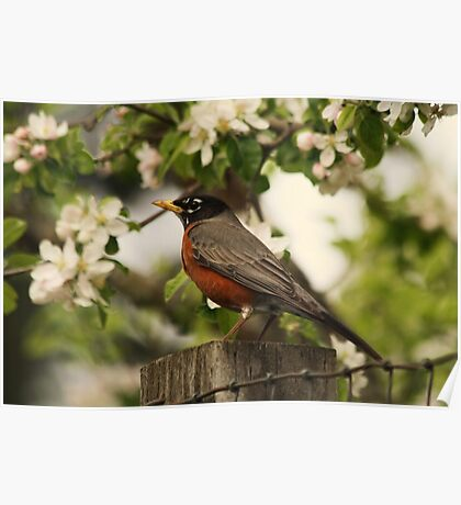 American Robin  Poster