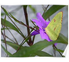 Sulphur Butterfly on Mexican Petunia Poster