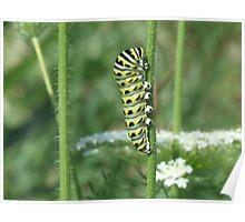 Black Swallowtail Larva Poster