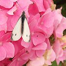 Butterfly-Large White on Hydrangea by sarnia2