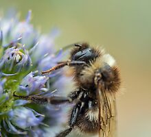 Bee on Sea Holly Flower by Nick Jenkins