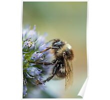 Bee on Sea Holly Flower Poster