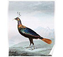 Impeyan Pheasant Bird Illustration Poster