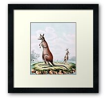 Kangaroos Vintage Drawing Framed Print