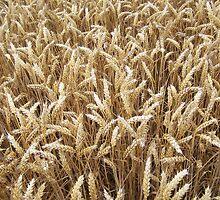 Field of wheat by neon-gobi