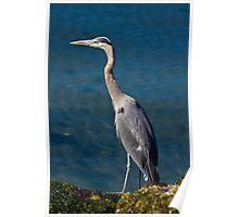 Great Blue Heron - Puget Sound Poster