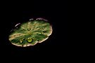 Lily pad by Joshua Greiner