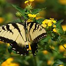 Mellow yellow....Swallowtail! by Ruth Lambert