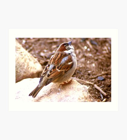 House Sparrow Perched on a Rock Art Print