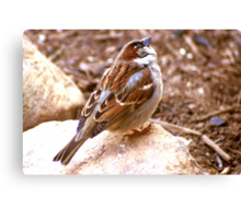 House Sparrow Perched on a Rock Canvas Print