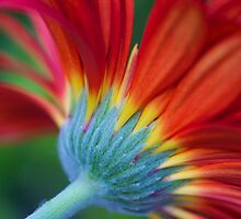 Glorious Gerbera by Renee Hubbard Fine Art Photography